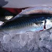 2月23日 外房勝浦川津の寒サバ〜ヤリイカのリレー釣り!!。のサムネイル
