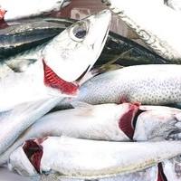 3月1日 外房勝浦川津のマサバ〜イカのリレー釣り!!。のサムネイル